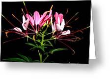Spider Flower  Greeting Card by Kim Galluzzo Wozniak