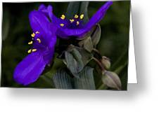 Spiderwort Lovers Greeting Card by Michael Friedman