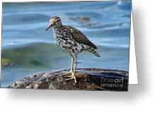 Spotted Sand Piper 6 Greeting Card by Andrea Kollo