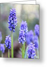 Spring Grape Hyacinth Flowers Greeting Card by Jennie Marie Schell
