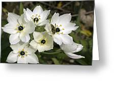 Star Of Bethlehem (ornithogalum Arabicum) Greeting Card by Bob Gibbons