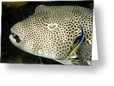 Star Puffer Fish Being Cleaned Greeting Card by Tim Laman