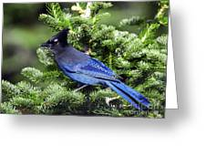 Stellers Jay Greeting Card by Sharon  Talson