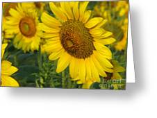 Sunflower Series Greeting Card by Amanda Barcon