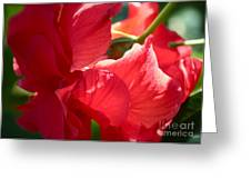 Sunlight On Red Hibiscus Greeting Card by Carol Groenen
