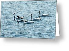 Swans Swimming Greeting Card by Aimee L Maher Photography and Art