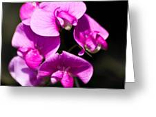 Sweat Pea Greeting Card by Dawn OConnor