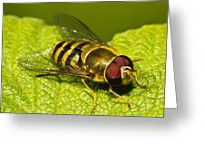 Syrphus Ribesii Greeting Card by Gert Lavsen