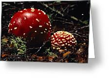 The Introduced Bright Red Fly Agaric Greeting Card by Jason Edwards