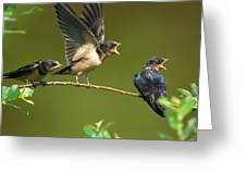 Three Barn Swallow Fledglings Begging Greeting Card by Darlyne A. Murawski