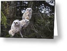 Three Great Horned Owl Bubo Virginianus Greeting Card by Richard Wear