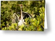 Three Tricolored Heron Egretta Tricolor Greeting Card by Tim Laman