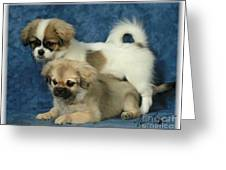 Tibetan Spaniel Pups 2 Greeting Card by Maxine Bochnia