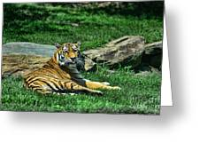 Tiger - Endangered - Lying Down - Tongue Out Greeting Card by Paul Ward