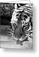 Tiger At The Watering Hole Greeting Card by Tracie Kaska