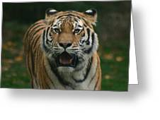 Tiger Greeting Card by David Rucker