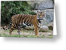 Tigers Glare Greeting Card by Brendan Reals