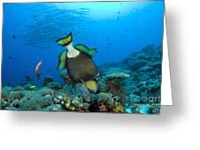 Titan Triggerfish Picking At Coral Greeting Card by Steve Jones