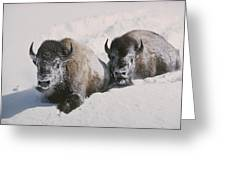 Two Bison Move Through Chest-deep Snow Greeting Card by William Albert Allard
