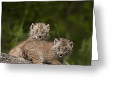 Two Canada Lynx Lynx Canadensis Kittens Greeting Card by Richard Wear
