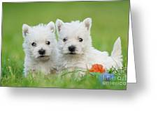 Two West Highland White Terrier Puppies Portrait Greeting Card by Waldek Dabrowski