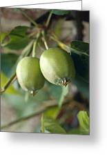 Unripe Royal Gala Apples Growing Greeting Card by Jason Edwards