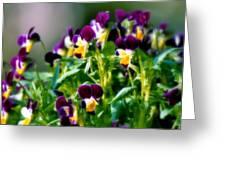Viola Parade Greeting Card by Karen Wiles