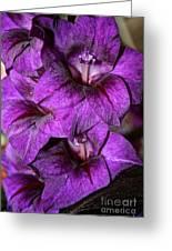 Violet Glads Greeting Card by Susan Herber