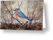 Western Bluebird Greeting Card by Sam Sidders