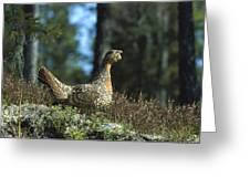 Western Capercaillie Tetrao Urogallus Greeting Card by Konrad Wothe