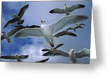Western Gull Larus Occidentalis Flock Greeting Card by Michael Durham/ Minden Pictures