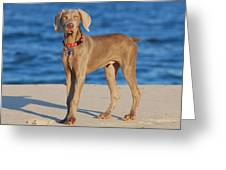 What - Weimaraner Puppy Greeting Card by Angie Tirado