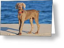 What - Weimaraner Puppy Greeting Card by Angie Tirado