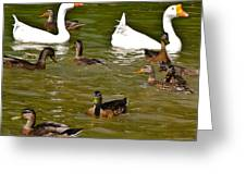 White Geese And Ducks Greeting Card by Harry Strharsky
