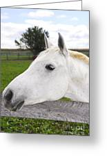 White Horse Greeting Card by Elena Elisseeva