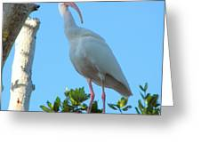 White Ibis In The Treetop Greeting Card by Judy Via-Wolff