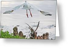 White Ibis Liftoff Greeting Card by Becky Lodes
