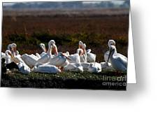 White Pelicans Greeting Card by Wingsdomain Art and Photography