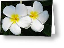 White Plumerias Greeting Card by Shane Kelly