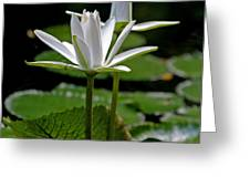 White Water Lily Greeting Card by Lisa  Spencer