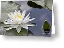 White Water Lily Greeting Card by Vladimir Sidoropolev
