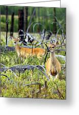 Whitetails Greeting Card by Marty Koch
