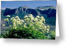 Wild Angelica Greeting Card by James Steinberg and Photo Researchers