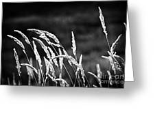 Wild grass in black and white Greeting Card by Elena Elisseeva