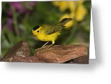 Wilsons Warbler Wilsonia Pusilla Male Greeting Card by Tom Vezo