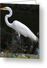 Wispy Feathers Of A White Heron Greeting Card by Becky Lodes