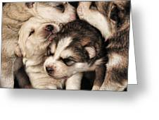 Wolf Pups Greeting Card by Rich Beer