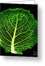 X-ray Of Cabbage Leaf Greeting Card by Ted Kinsman