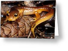 Yellow-eyed Ensatina Greeting Card by Dante Fenolio