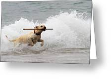 Yellow Lab Ocean Fetch Greeting Card by Renae Laughner